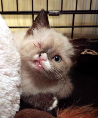 sir stuffington, kitten, raccoon attack (2)