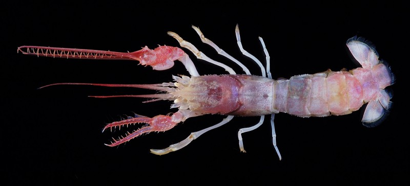 Dinochelus ausubeli, Ausubel's Mighty Claws Lobster, new species (1)