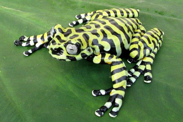 Hyloscirtus tigrinus, Tiger's Treefrog