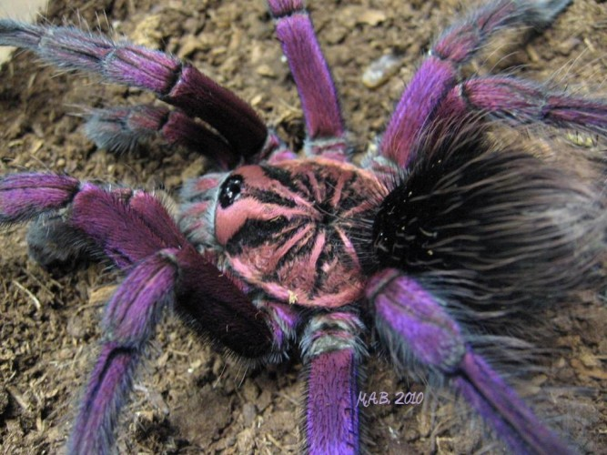Pamphobeteus sp, purple tarantula (1)