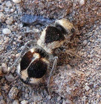 panda ant, Euspinolia militaris (4)