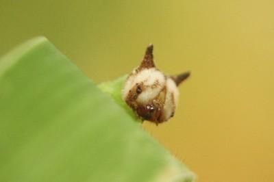 hello kitty caterpillar, ヒメジャノメの幼虫は, Mycalesis gotama