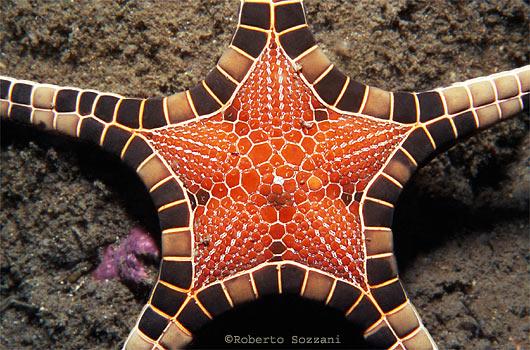 Iconaster longimanus, icon starfish (1)