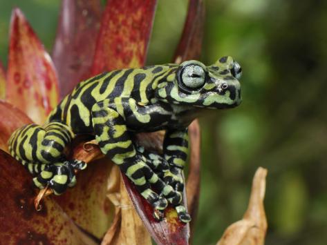 Hyloscirtus tigrinus, Tiger's Treefrog (2)