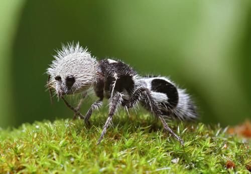 This Panda Ant Will BAMBOOzle You With Its True Identity