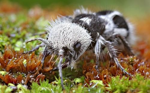 panda ant, Euspinolia militaris (1)