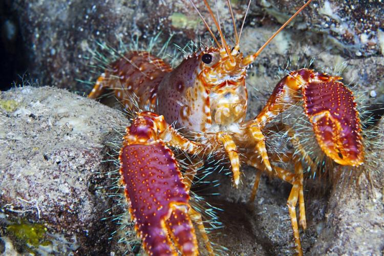 Enoplometopus debelius, crustaceans