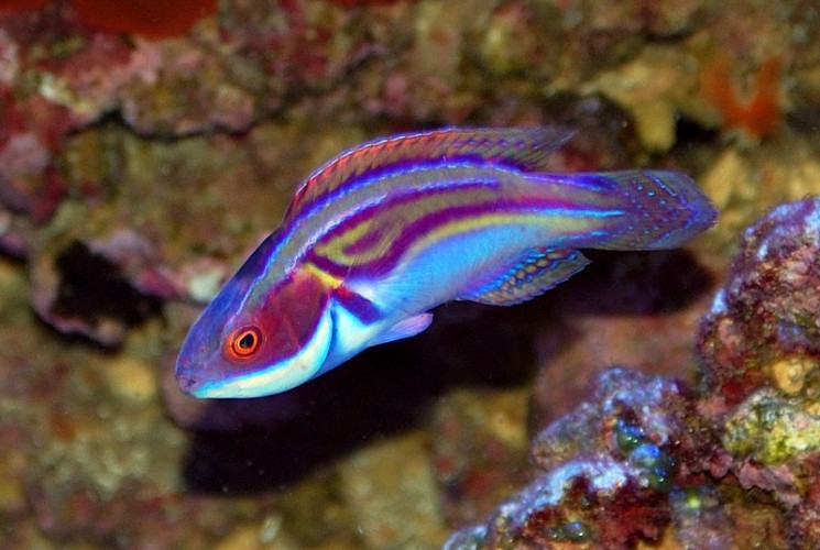 Labout 39 s fairy wrasse is one radical psychedelic fish for Saltwater fish species