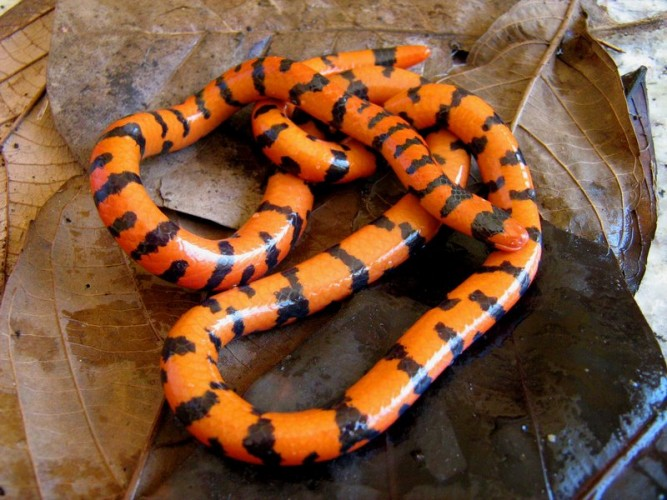 False Coral Snake: All Tricks and No Treats