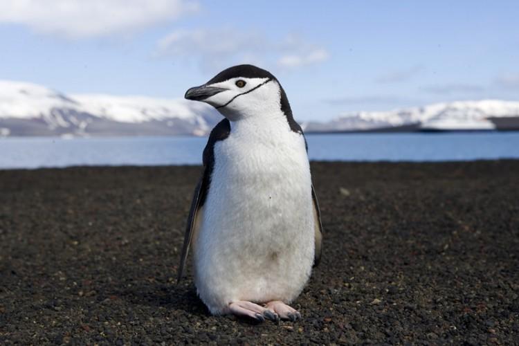 chinstrap penguin, Pygoscelis antarctica (8)