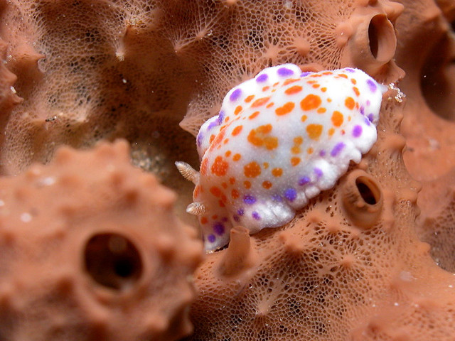 Chromodoris ambigua, nudibranch (4)