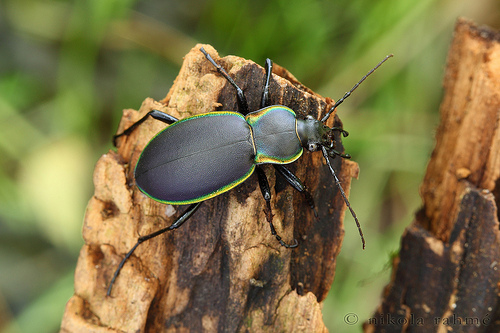 Carabus marginalis, glowing-edged ground beetle (4)