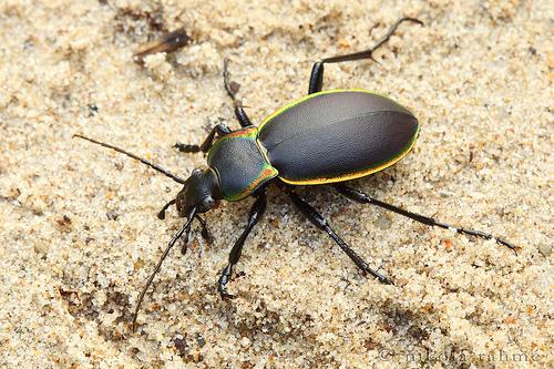 Carabus marginalis, glowing-edged ground beetle (2)