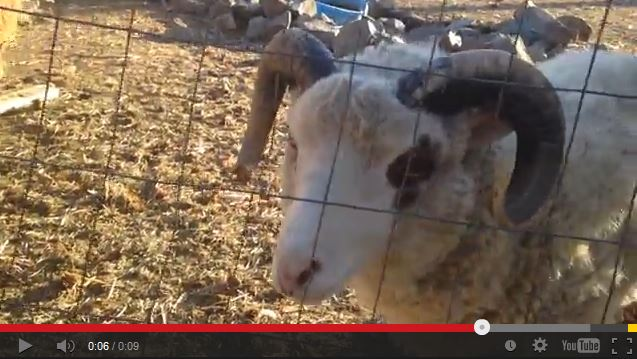 Video: Watch This Sheep In Need of a Throat Lozenge