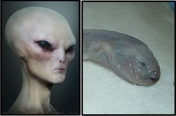 The Grey Alien LIVES! … Underwater as a Limp Eelpout, That Is.