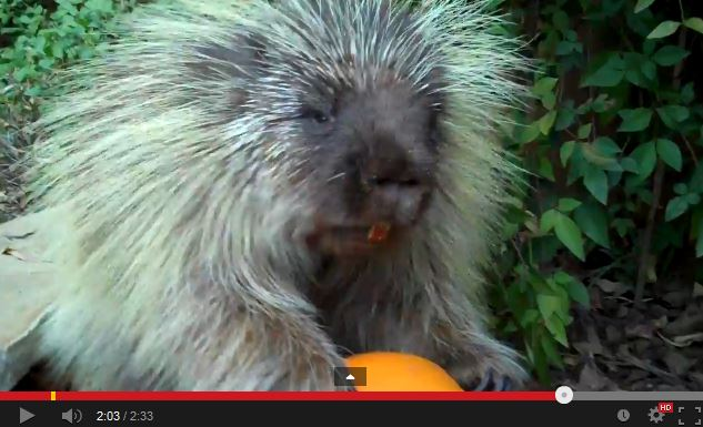 Video: Watch Teddy the Porcupine Discuss His Love For Pumpkins
