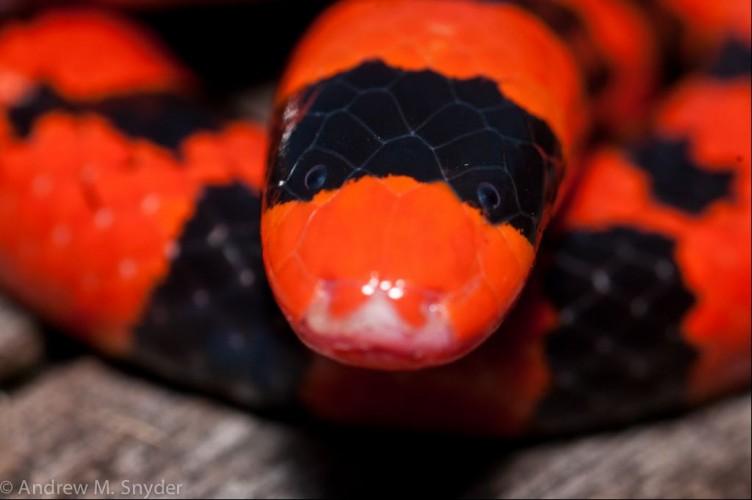 false coral snake, pipe snake, Anilius scytale (4)