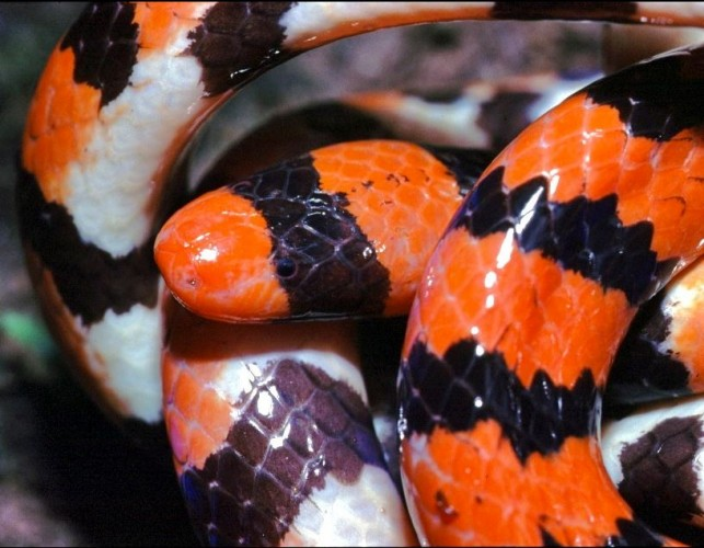 false coral snake, pipe snake, Anilius scytale (3)
