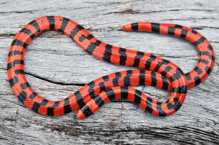 false coral snake, pipe snake, Anilius scytale (2)
