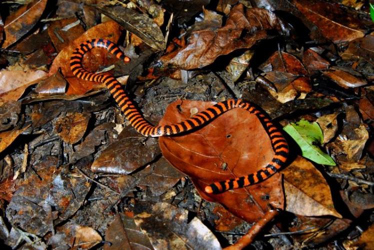 false coral snake, pipe snake, Anilius scytale (1)