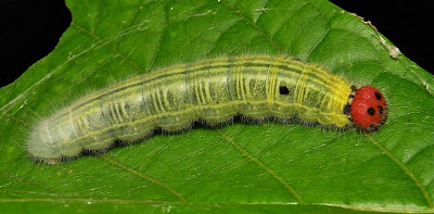common awl caterpillar, Hasora badra, jack o lantern caterpillar, halloween costume ideas (2)