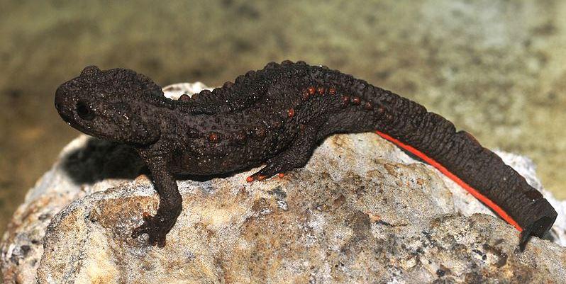 Tylototriton ziegleri, crocodile newt