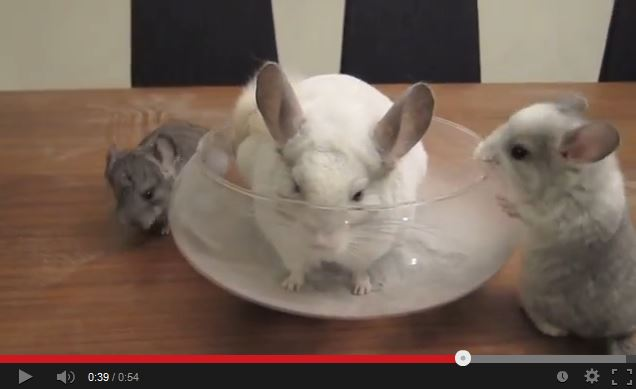 Chinchillas Taking Dust Baths: the Ultimate Video Collection!