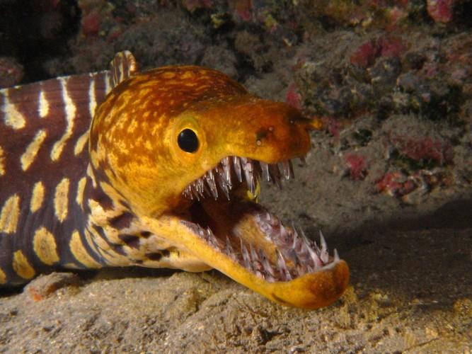 fangtooth moray eel, Enchelycore anatina (4)