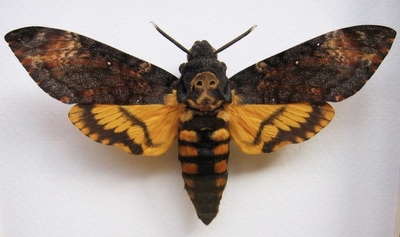 deaths head hawkmoth, halloween costume ideas