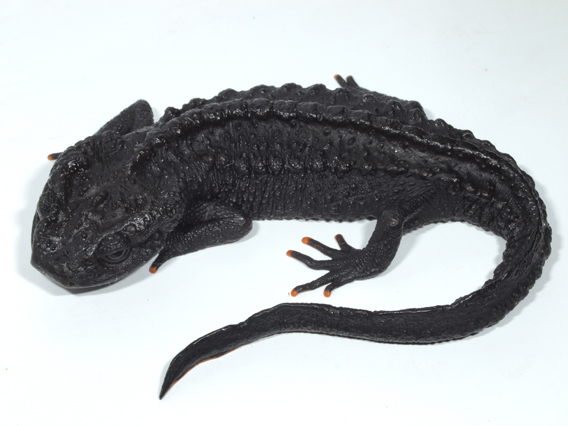 New Species of Crocodile Newt Discovered: Appears To Be Forged of Magma!