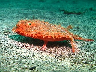 starry handfish, Halieutaea stellata, red batfish, starry seabat (2)