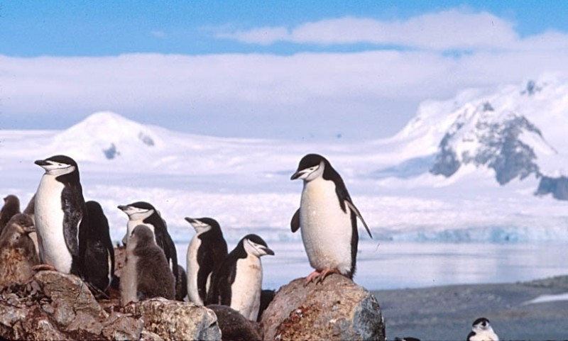 chinstrap penguin, Pygoscelis antarctica (4)