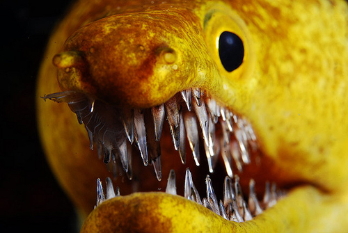 Fangtooth Moray Eel: Sporting A Mouth Filled With Shards of Glass. No Big Deal.