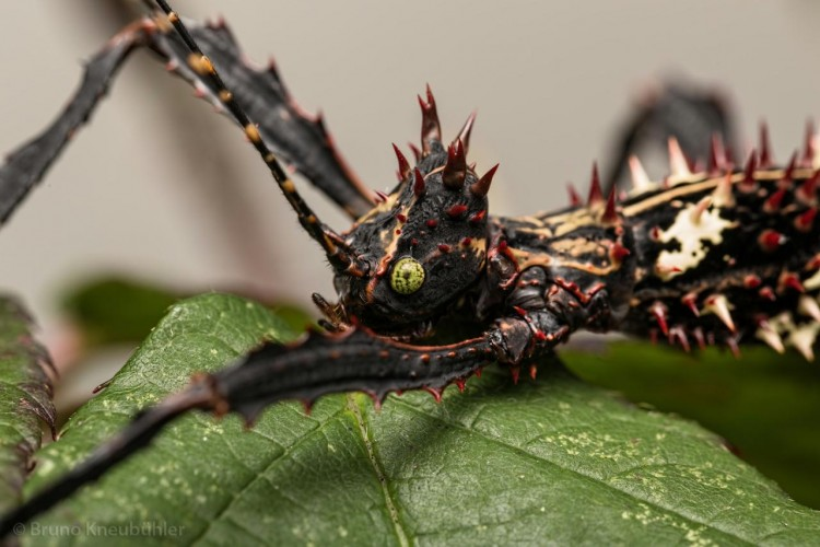 Parectatosoma hystrix, phasmid, stick insect (4)