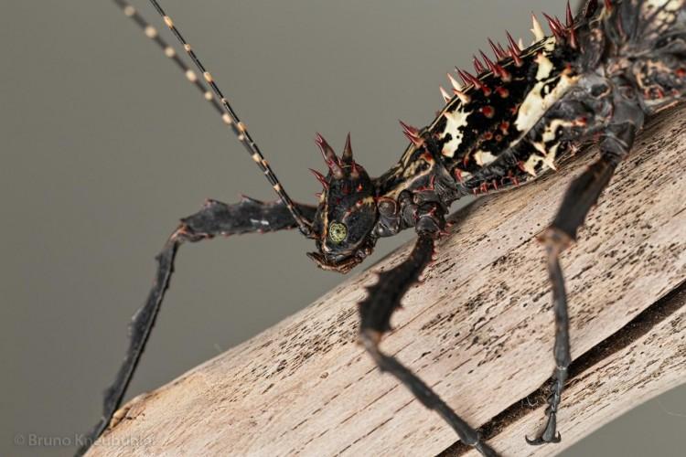 Parectatosoma hystrix, phasmid, stick insect (3)