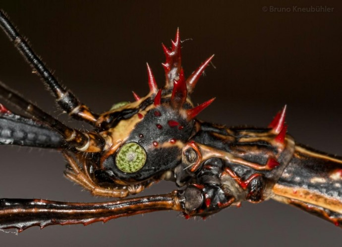This Might Be The Most Badass Stick Insect Ever. Thoughts?