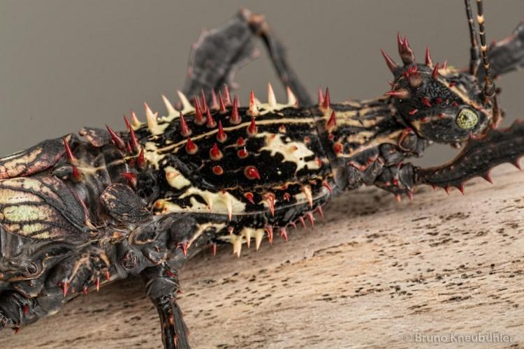 Parectatosoma hystrix, phasmid, stick insect (1)