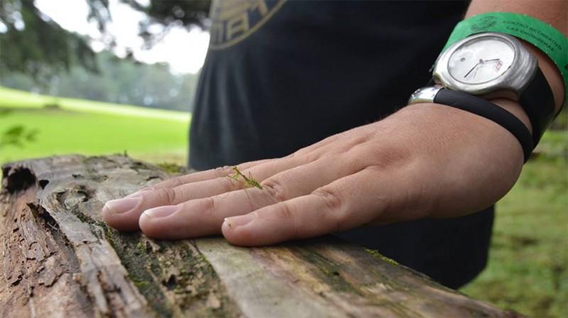 moss mantis, Pogonogaster tristani (3)