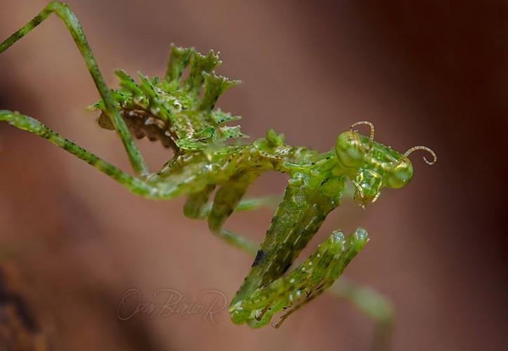 moss mantis, Pogonogaster tristani (2)