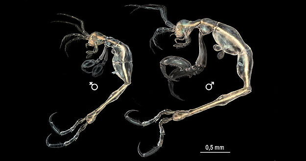 New Cave-dwelling Shrimp-like Creature Discovered in California