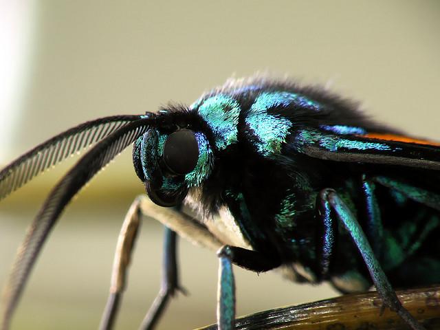 Cyanopepla submacula, metalmark moth (3)