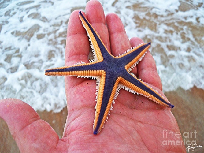 royal starfish, Astropecten articulatus (3)