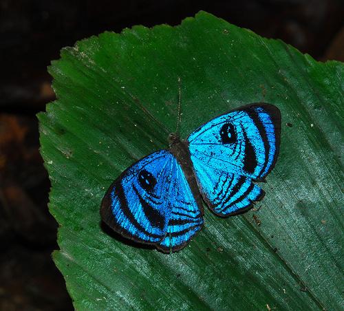 Semomesia croesus, Croesus Eyemark (4)