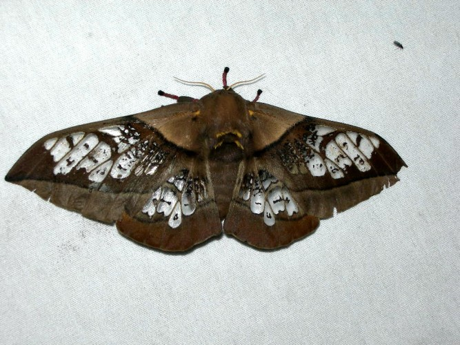 Neorcarnegia basirei, clear-wing moth (4)