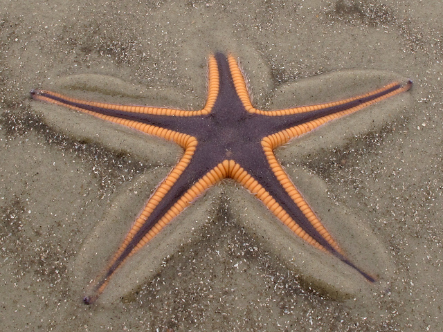 royal starfish, Astropecten articulatus (1)