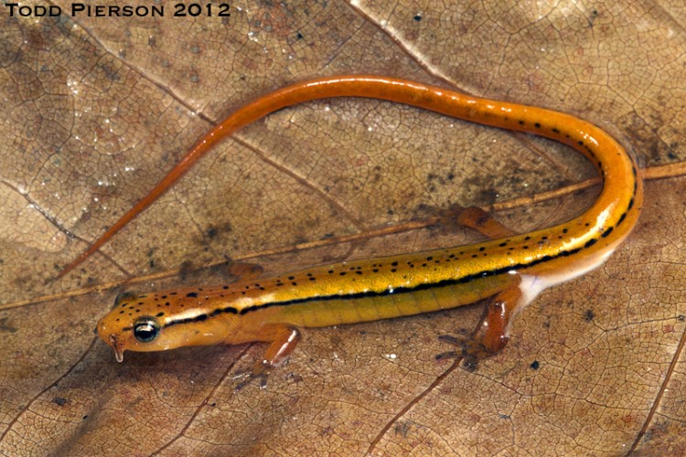 Blue Ridge two-lined salamander, Eurycea wilderae (3)