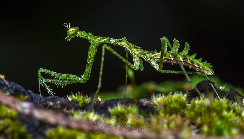First (Ever?) Video Footage of Rediscovered Moss Mantis Species