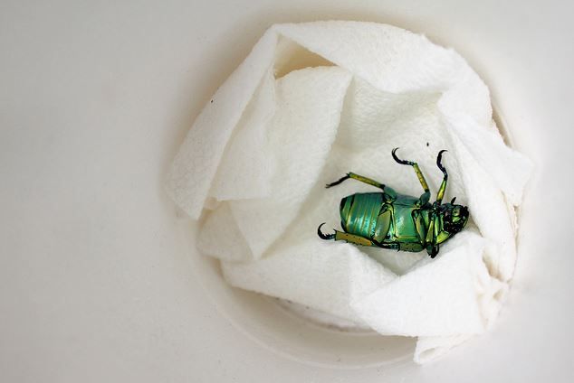 Chrysina woodi, shining leaf chafer (3)