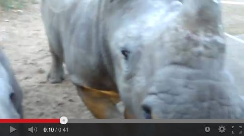 VIDEO: Did You Know Rhinos Sound Like Deflating Balloons?