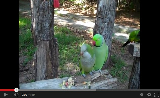 Video: Pickup Artist Parrot Wants Kisses